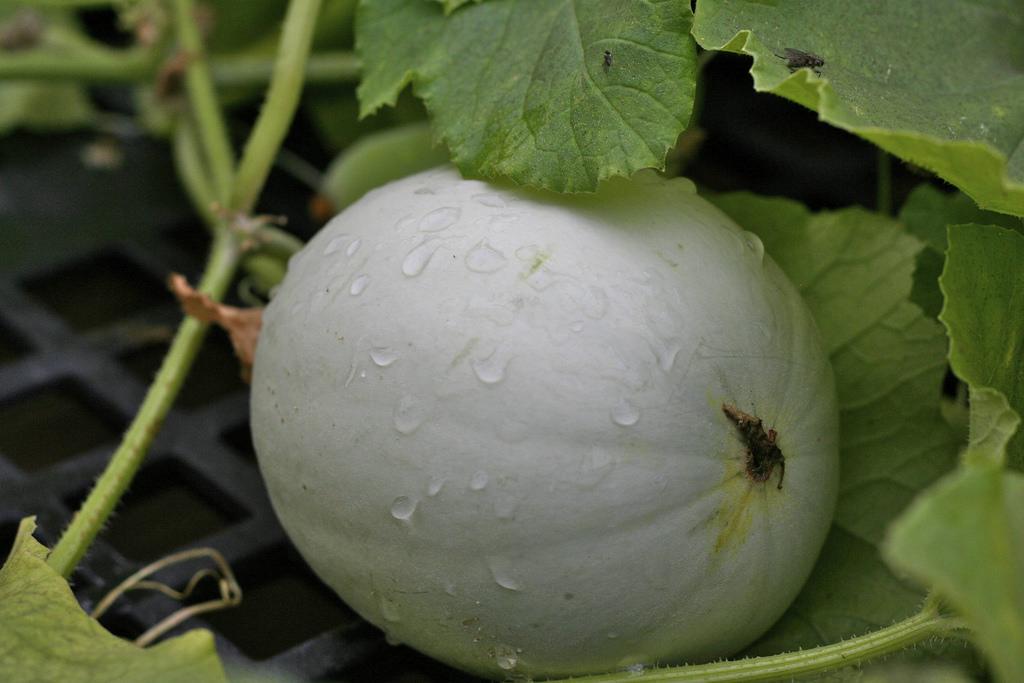 Honeydew Cucumber Soup - Edible Seattle