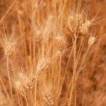 nov2010_washington_wheat_field