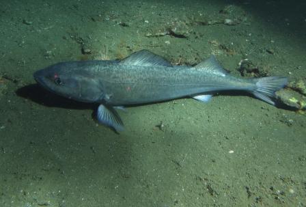 may2012_sablefish