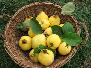basket of quince