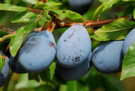 horizontal plum branch