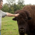 petting buffalo