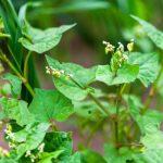Buckwheat_small