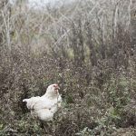 chicken in field