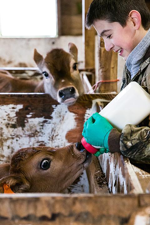 feeding baby cow
