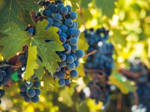 Red grapes ready to be harvested at a vineyard.