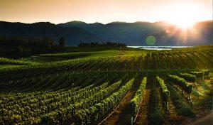 vineyardsunset