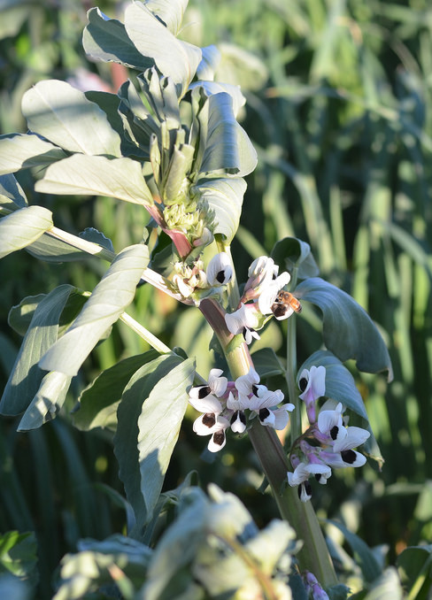 fava-cover-crop