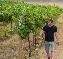 USA, Washington, Red Mountain. Harvest 2016 in Angela's Vineyard, an estate vineyard of Efeste.