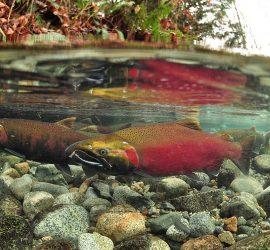 Wild salmon thrive in the clean waters provided by buffer zones.rev