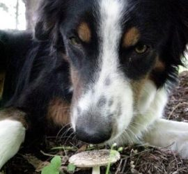 dog sniffing mushrooms